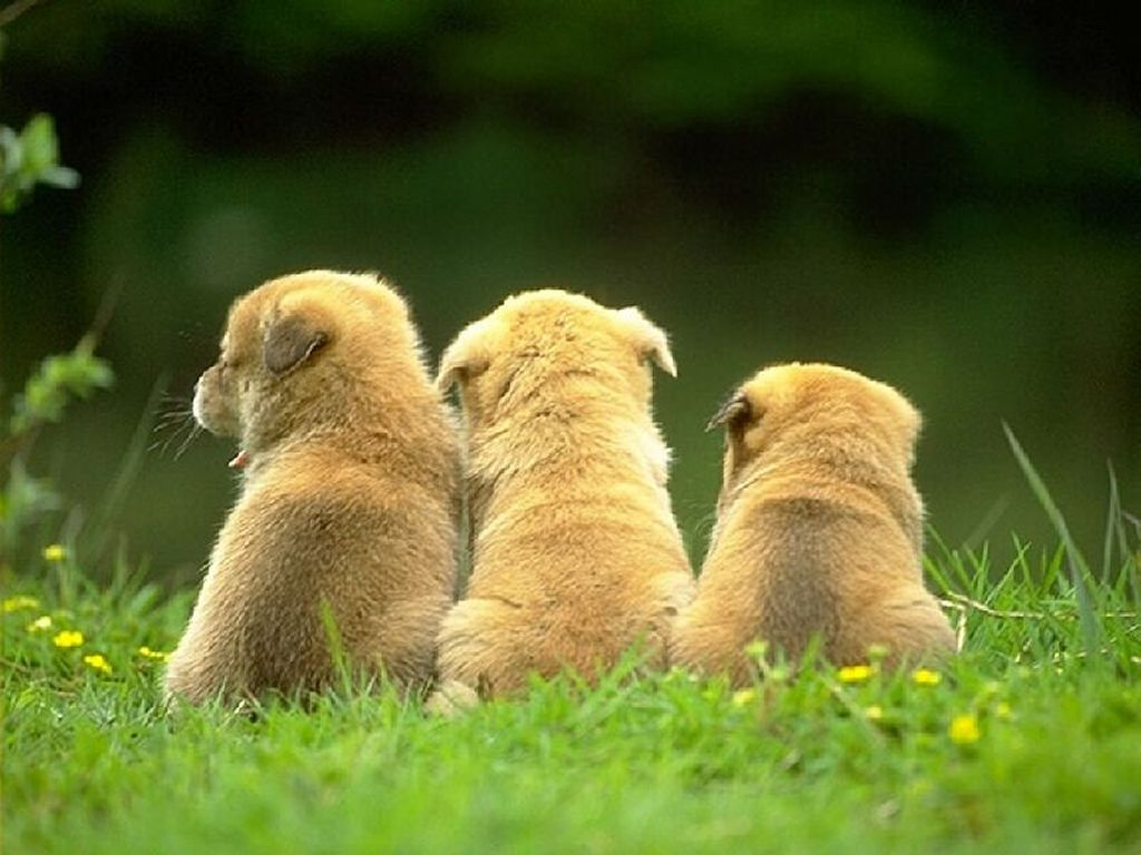 Nature Wallpaper: Three Little Puppies