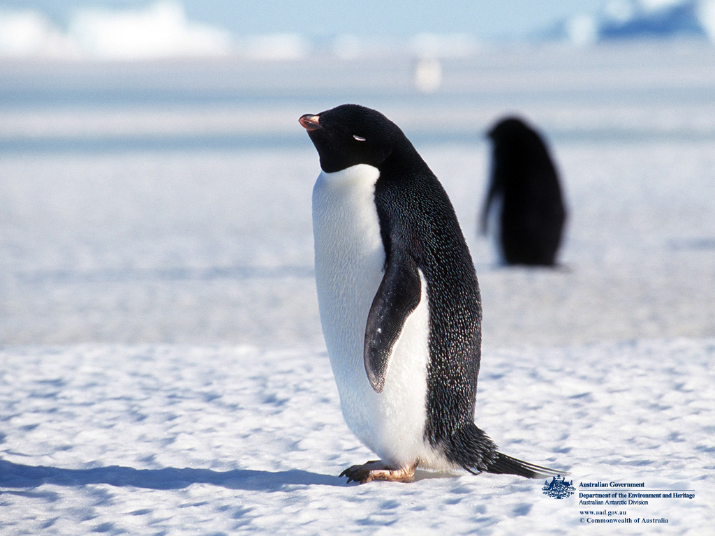 Nature Wallpaper: Adelie Penguin