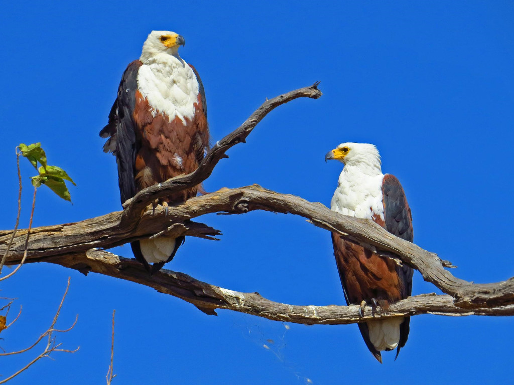 Nature Wallpaper: African Fish Eagle