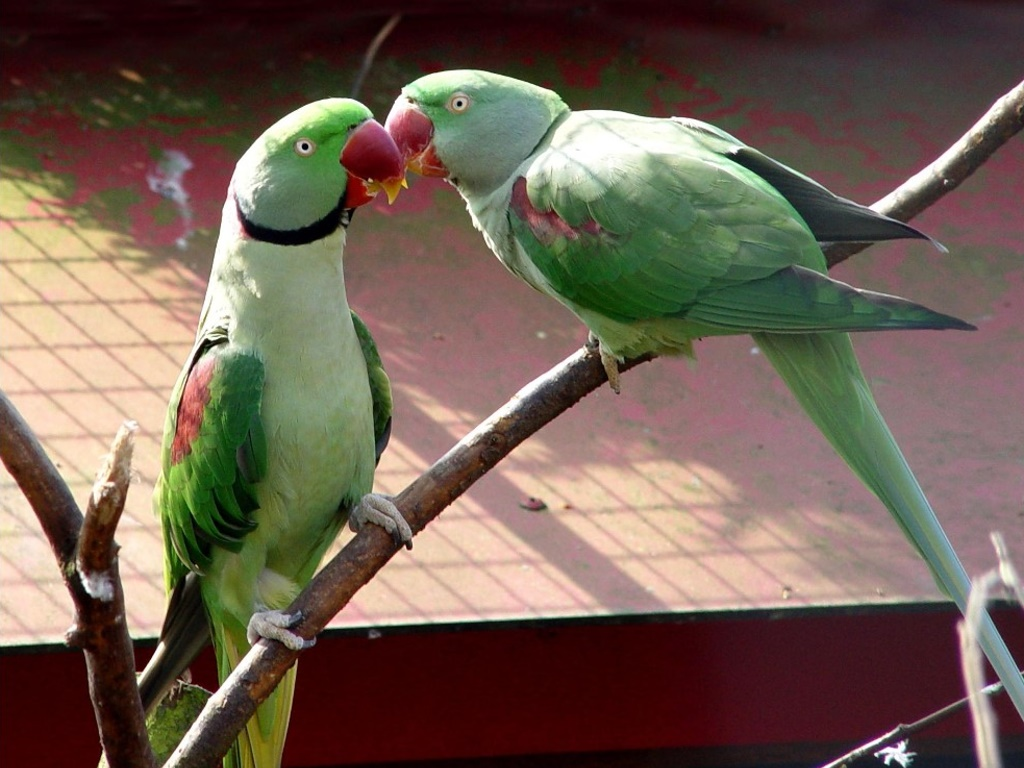 Nature Wallpaper: Alexandrine Parakeets