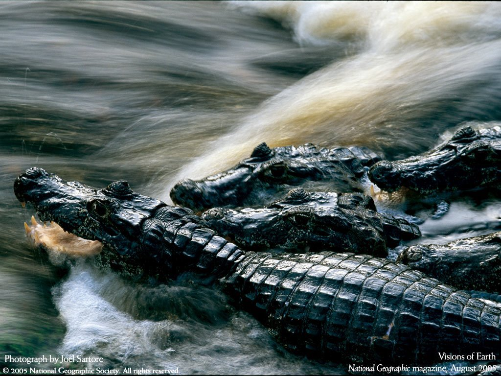 Nature Wallpaper: Alligators