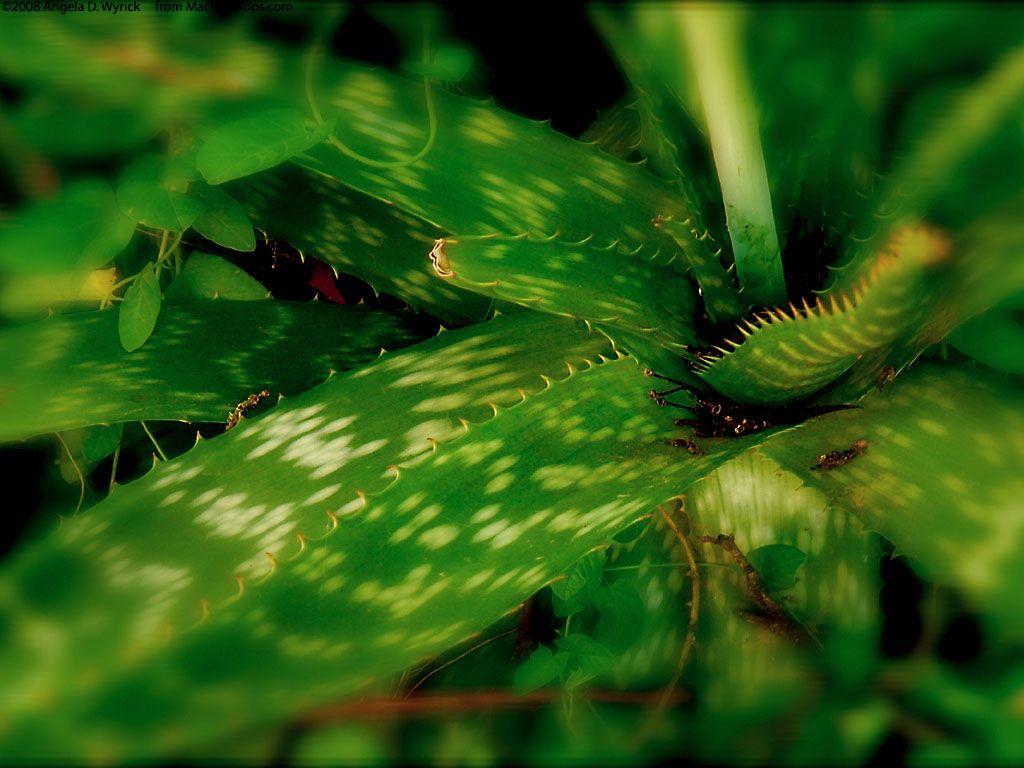 Nature Wallpaper: Aloe Vera