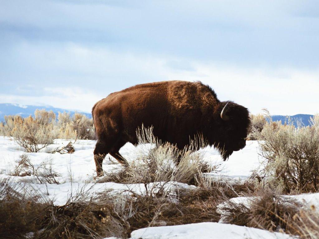 Nature Wallpaper: American Bison