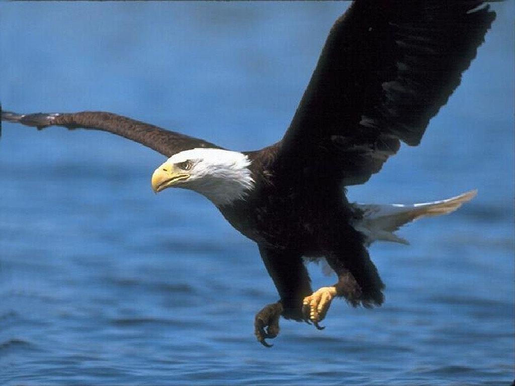 Nature Wallpaper: American Eagle