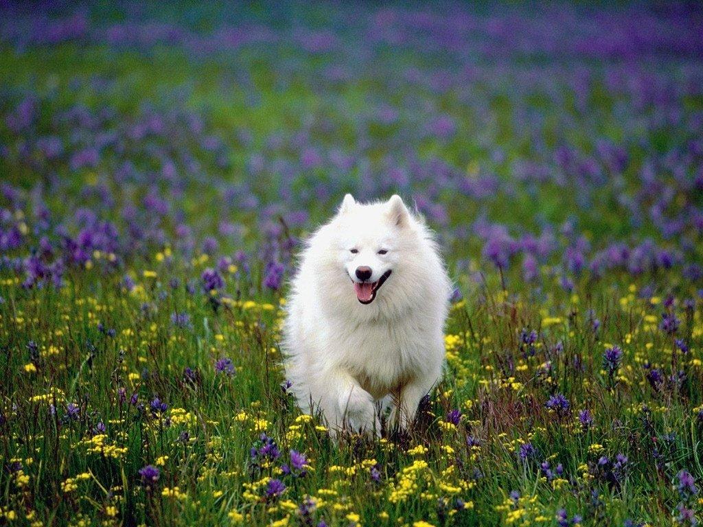 Nature Wallpaper: American Eskimo Dog