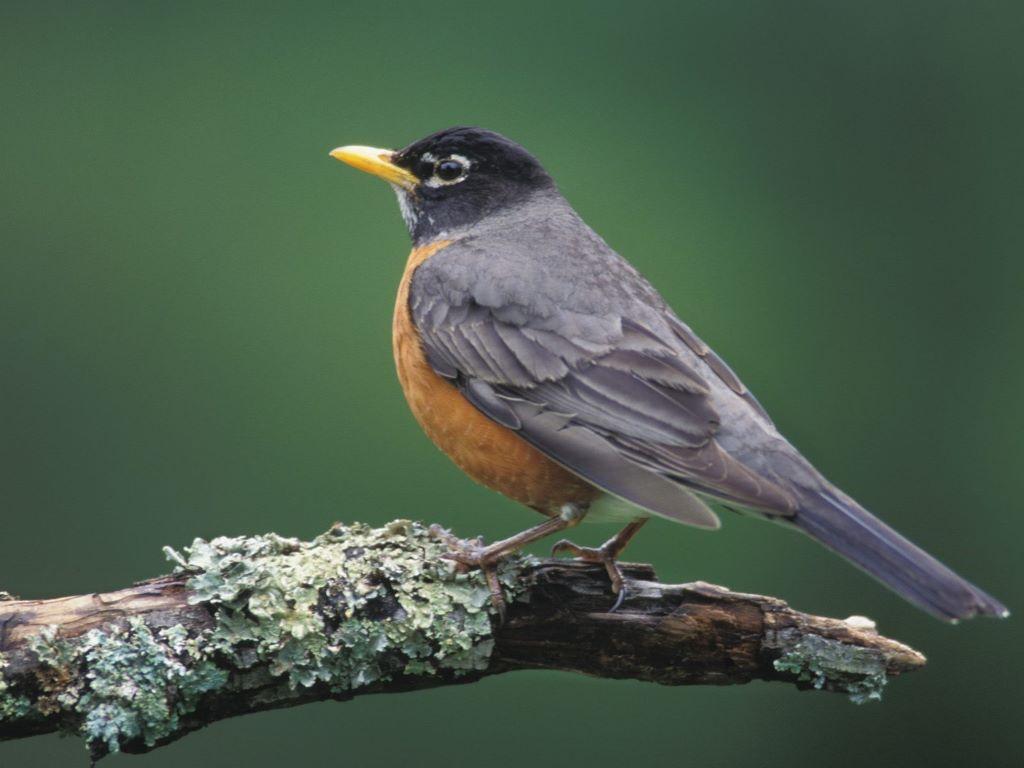 Nature Wallpaper: American Robin