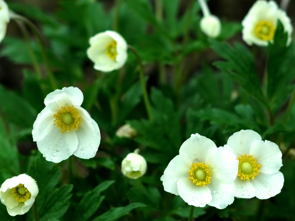 Nature Wallpaper: Anemone