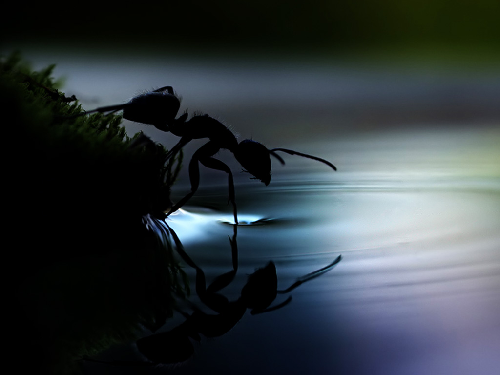 Nature Wallpaper: Ant - Water