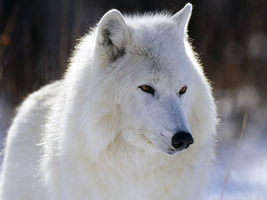 Nature Wallpaper: Arctic Wolf