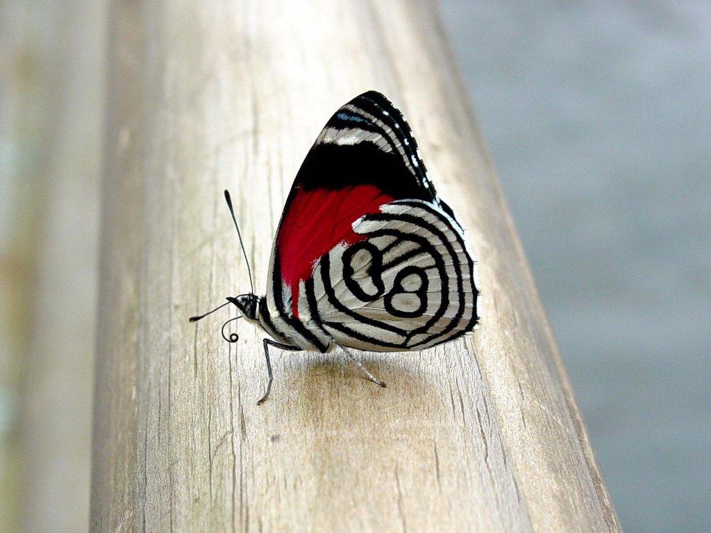 Nature Wallpaper: Asian Butterfly