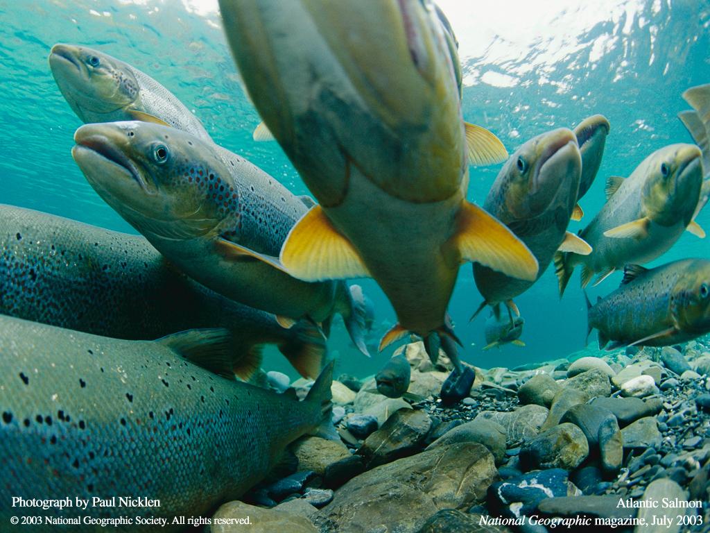 Nature Wallpaper: Atlantic Salmon