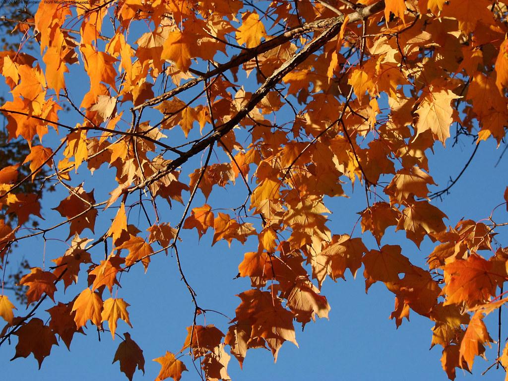 Nature Wallpaper: Autumn Leaves in Louisville