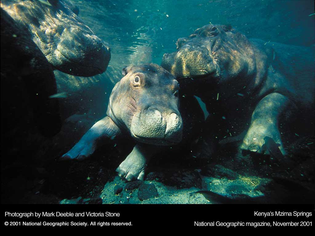 Nature Wallpaper: Baby Hippo