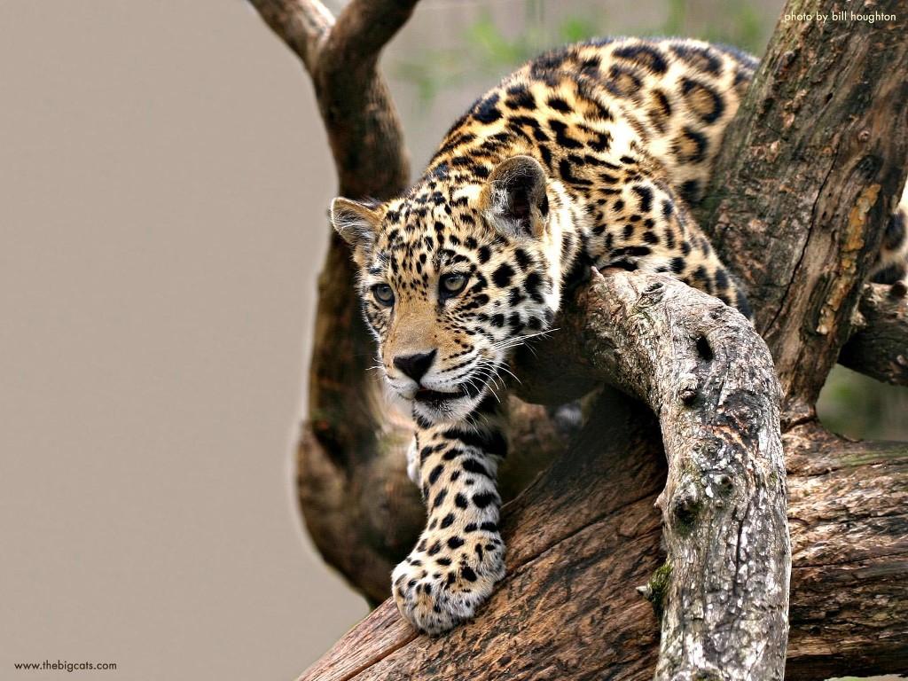 Nature Wallpaper: Baby Jaguar