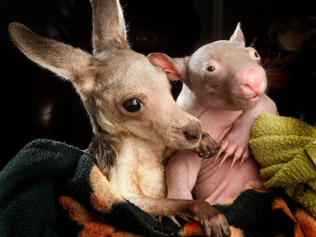 Nature Wallpaper: Baby Kangaroo and Baby Wombat