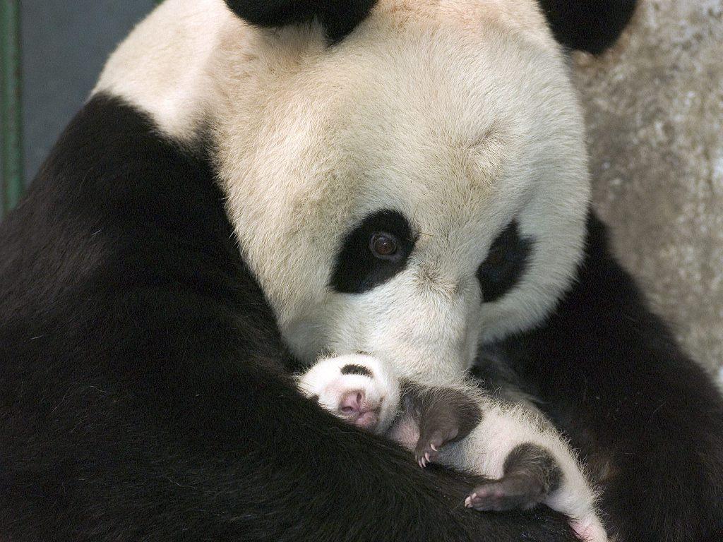 Nature Wallpaper: Baby Panda