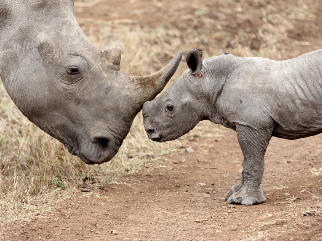 Nature Wallpaper: Rhino - Baby