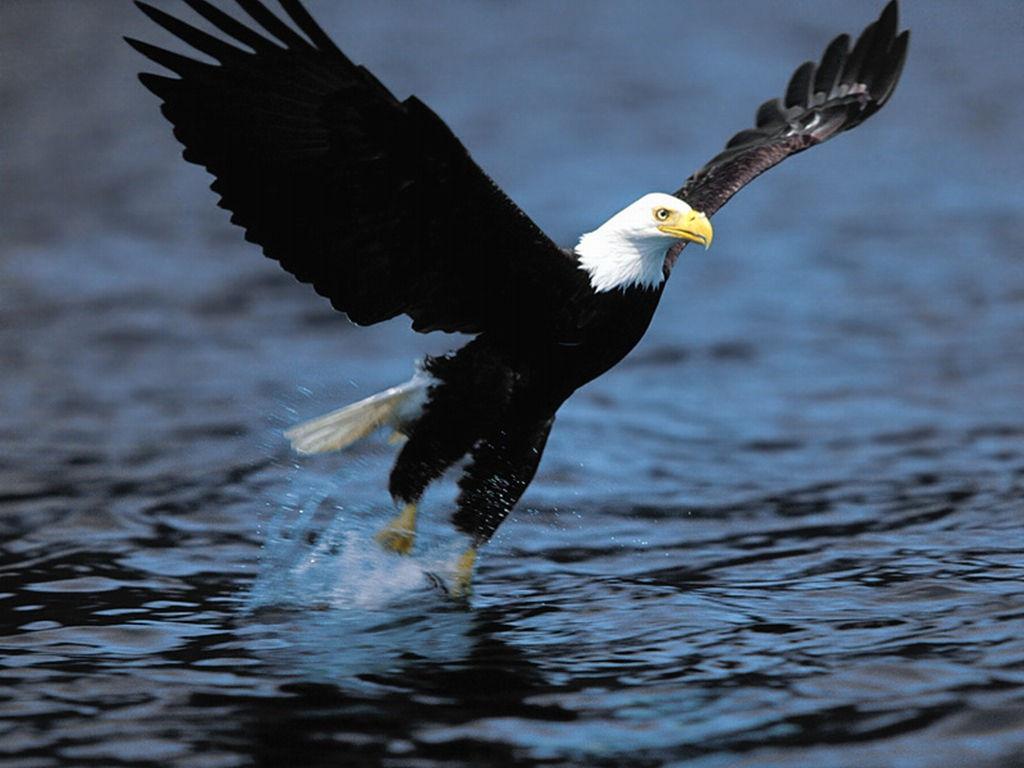Nature Wallpaper: Bald Eagle