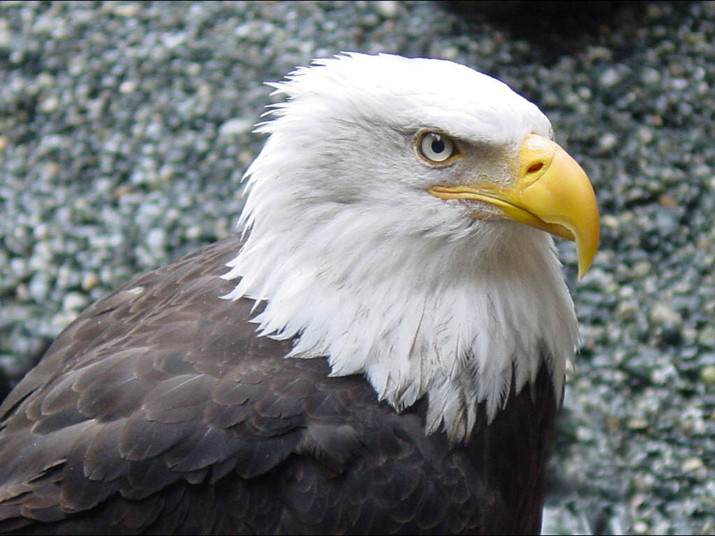 Nature Wallpaper: Bald Eagle