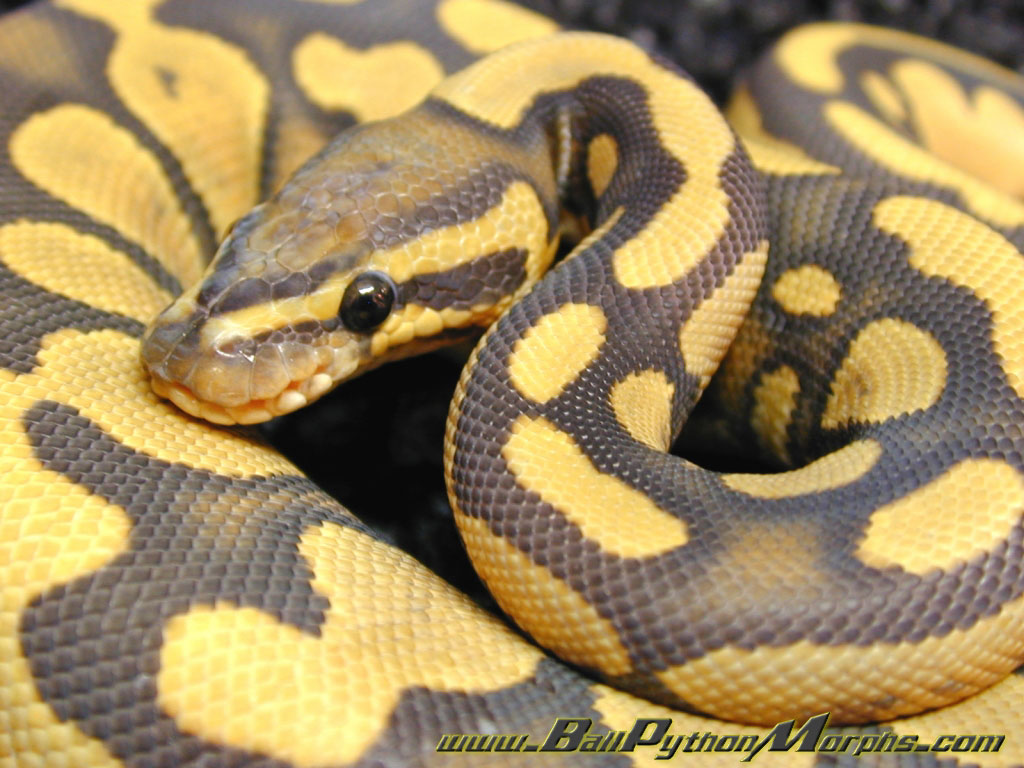 Nature Wallpaper: Ball Python