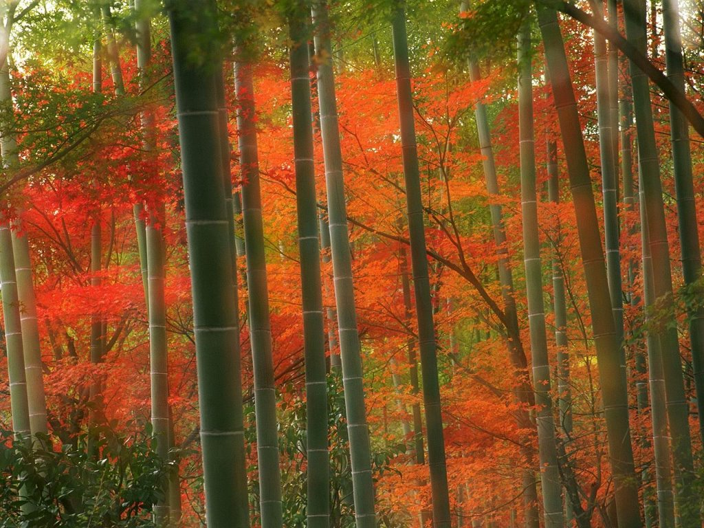 Nature Wallpaper: Bamboo Forest - Kyoto