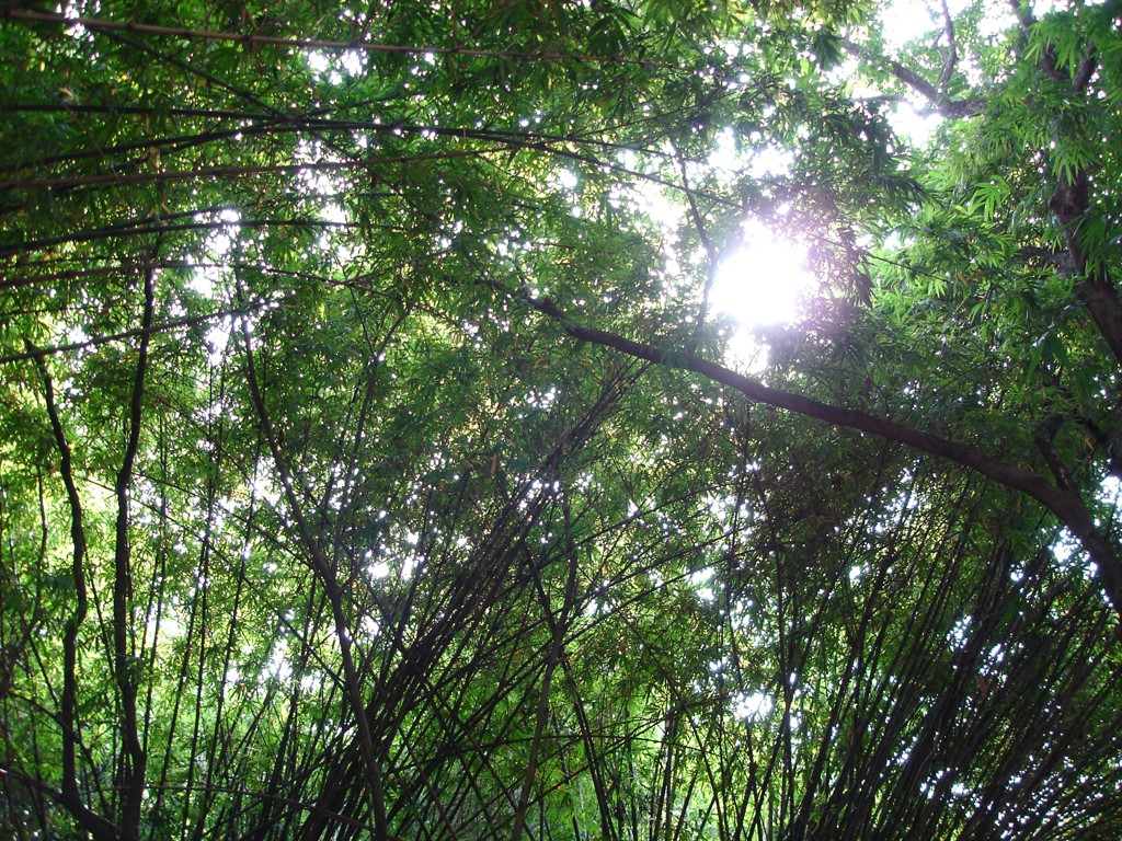 Nature Wallpaper: Bamboo