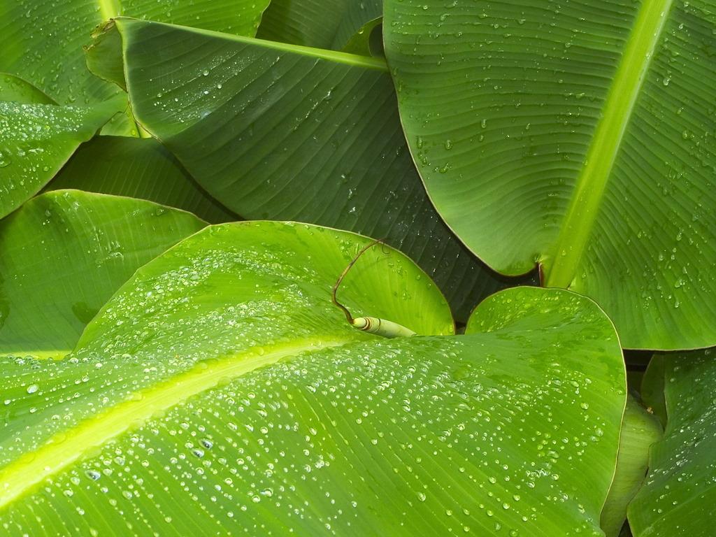 Nature Wallpaper: Banana Tree Leaves