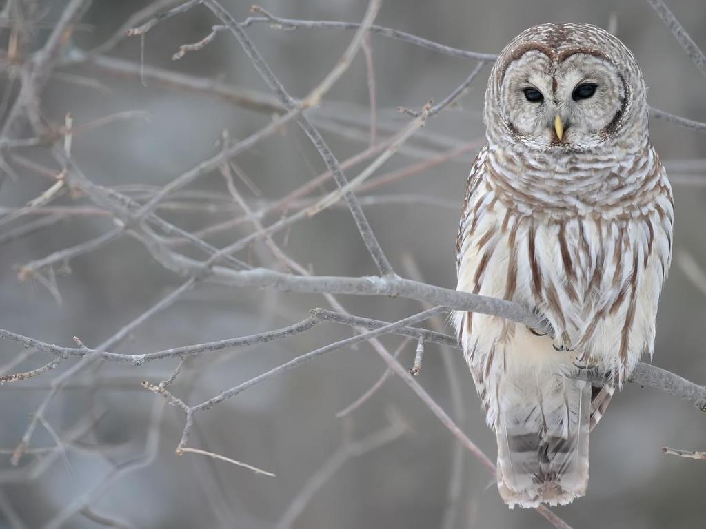Nature Wallpaper: Barred Owl