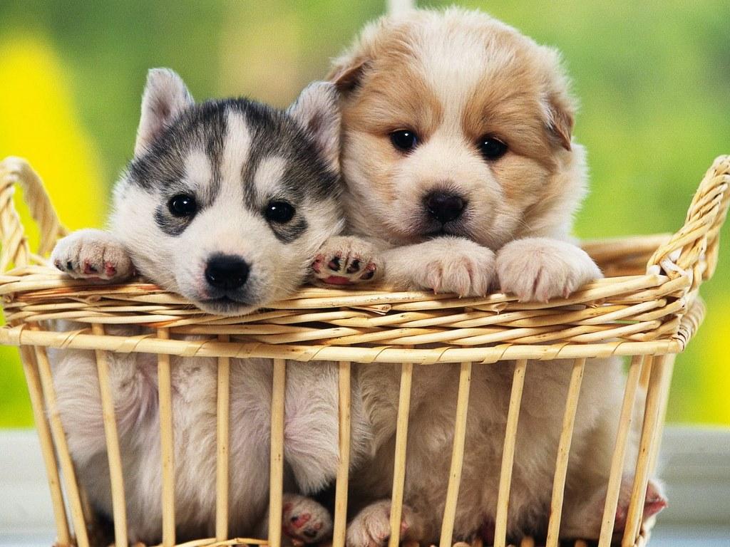 Nature Wallpaper: Puppies