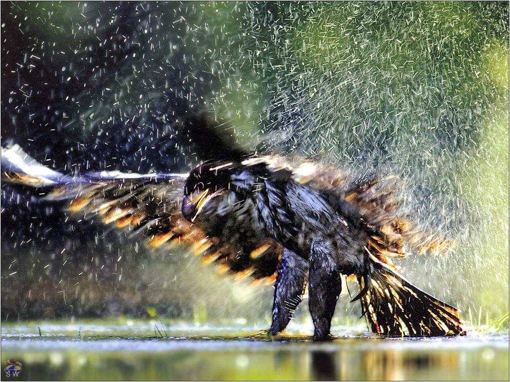 Nature Wallpaper: Bathing Bald Eagle
