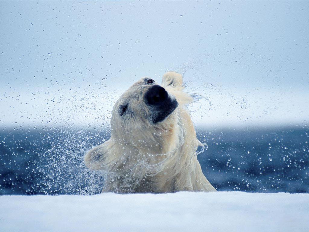 Nature Wallpaper: Bathing Bear
