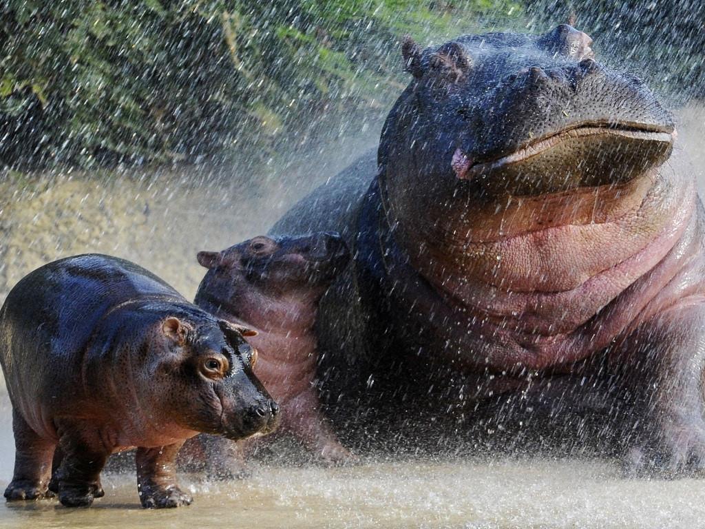 Nature Wallpaper: Hippos