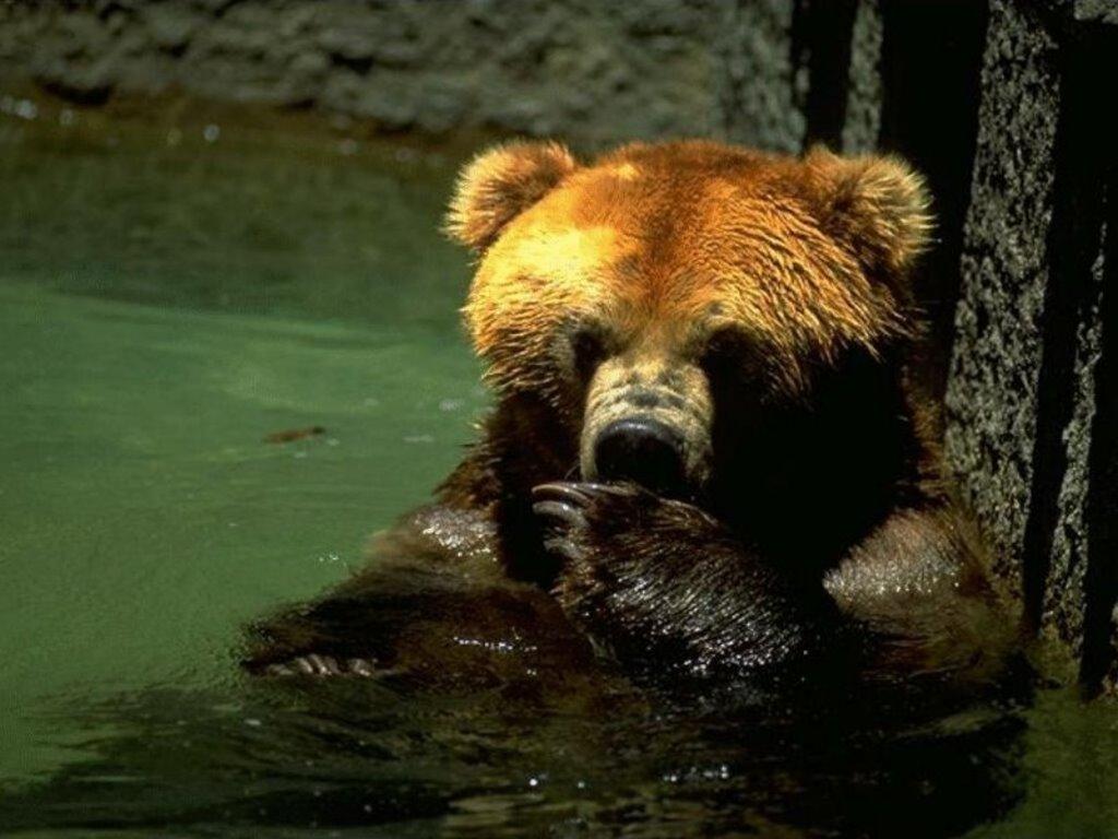 Nature Wallpaper: Bear at River