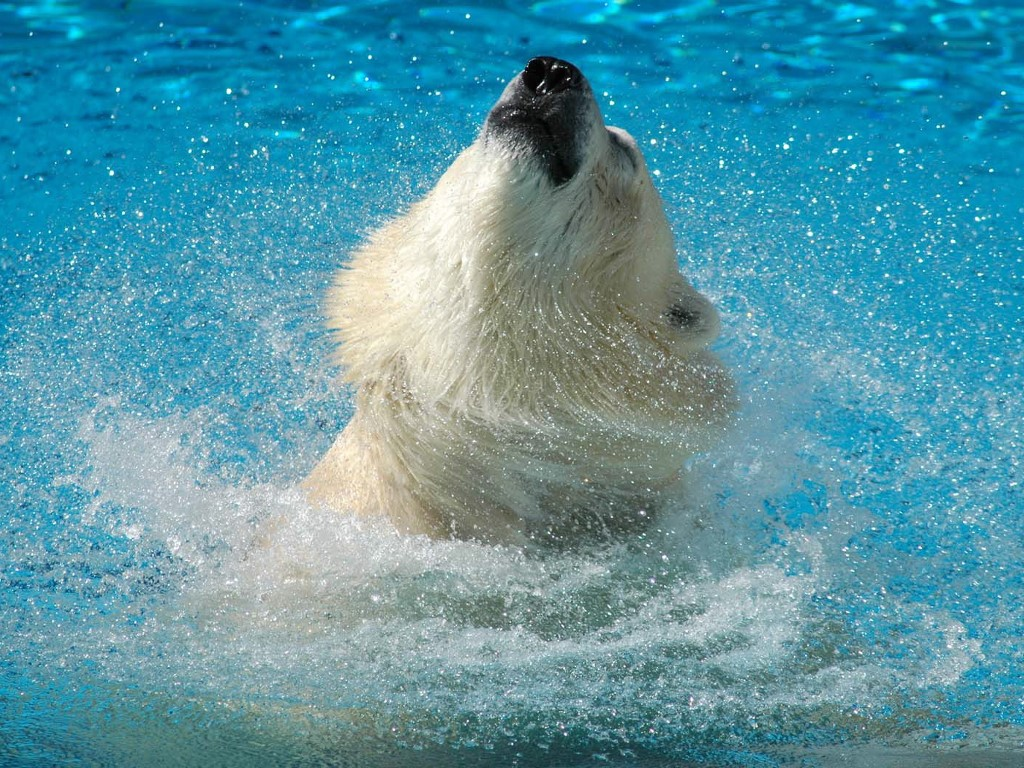 Nature Wallpaper: Bear - Bathing
