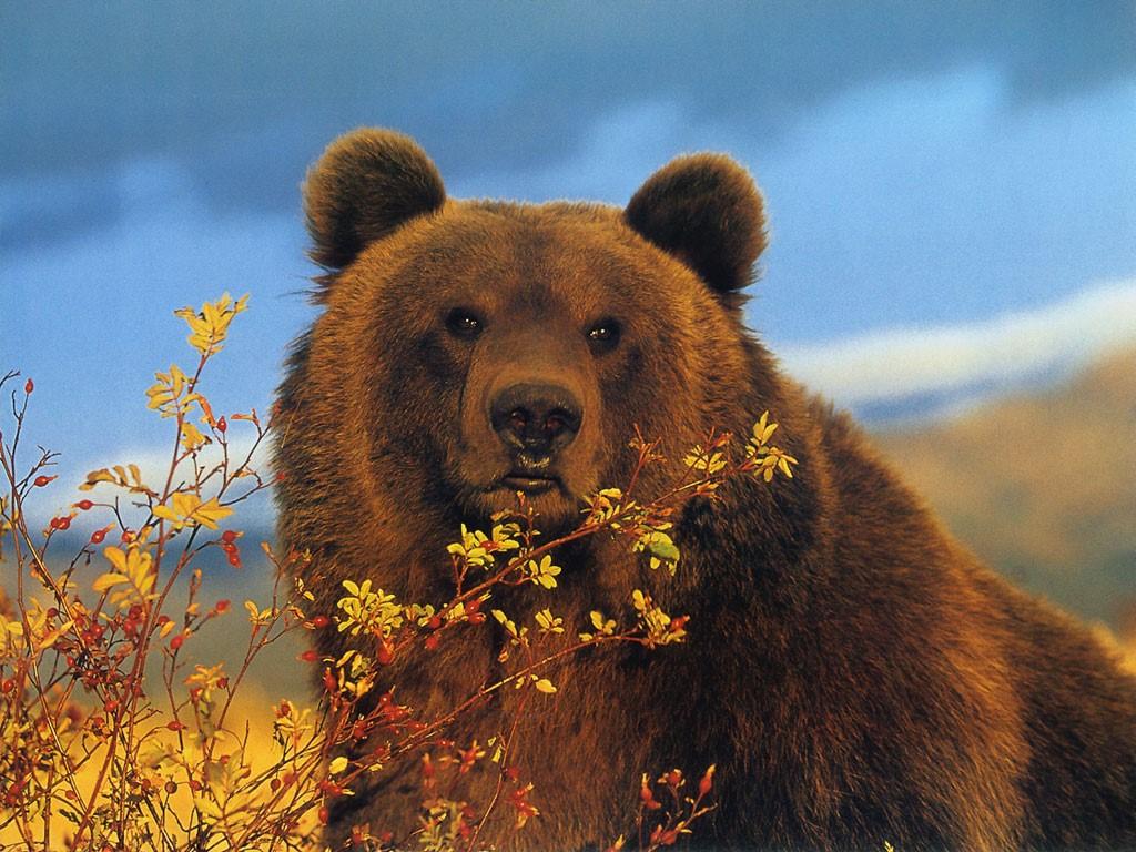 Nature Wallpaper: Bear