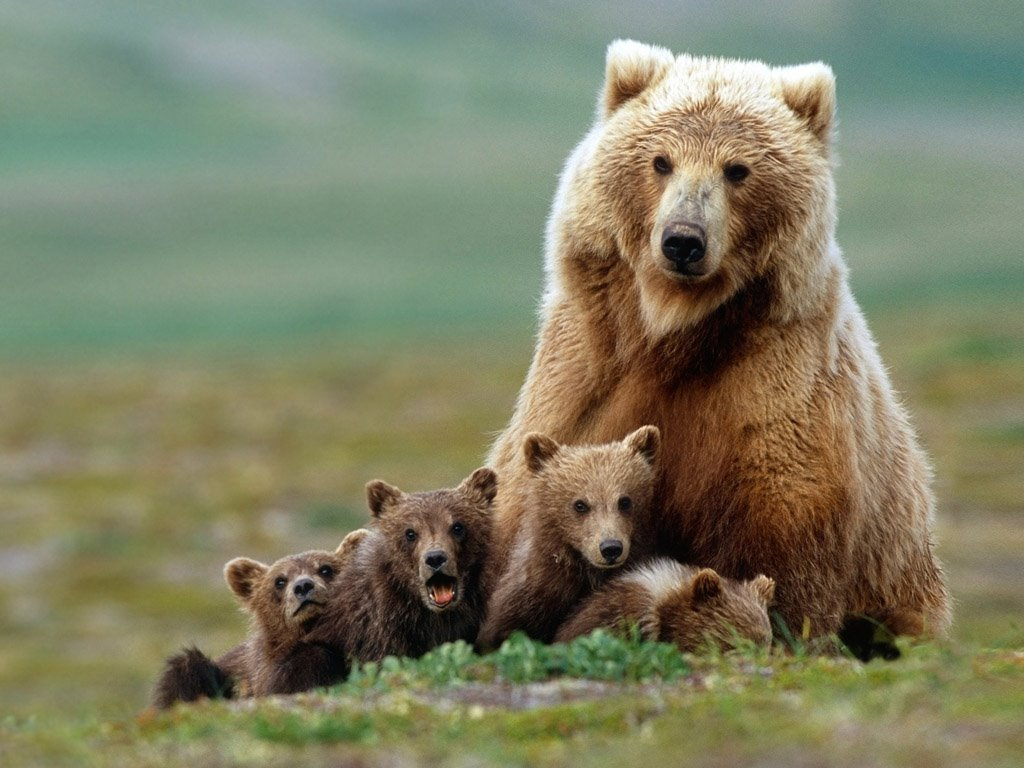 Nature Wallpaper: Bear Family