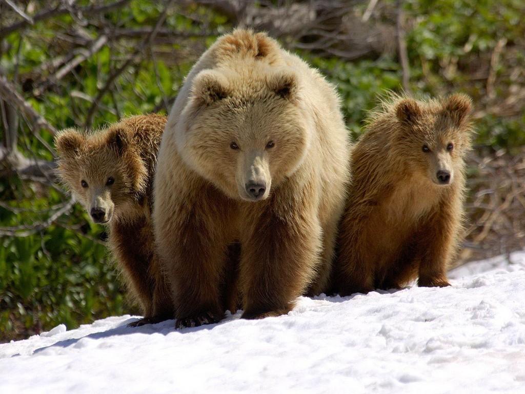 Nature Wallpaper: Bears