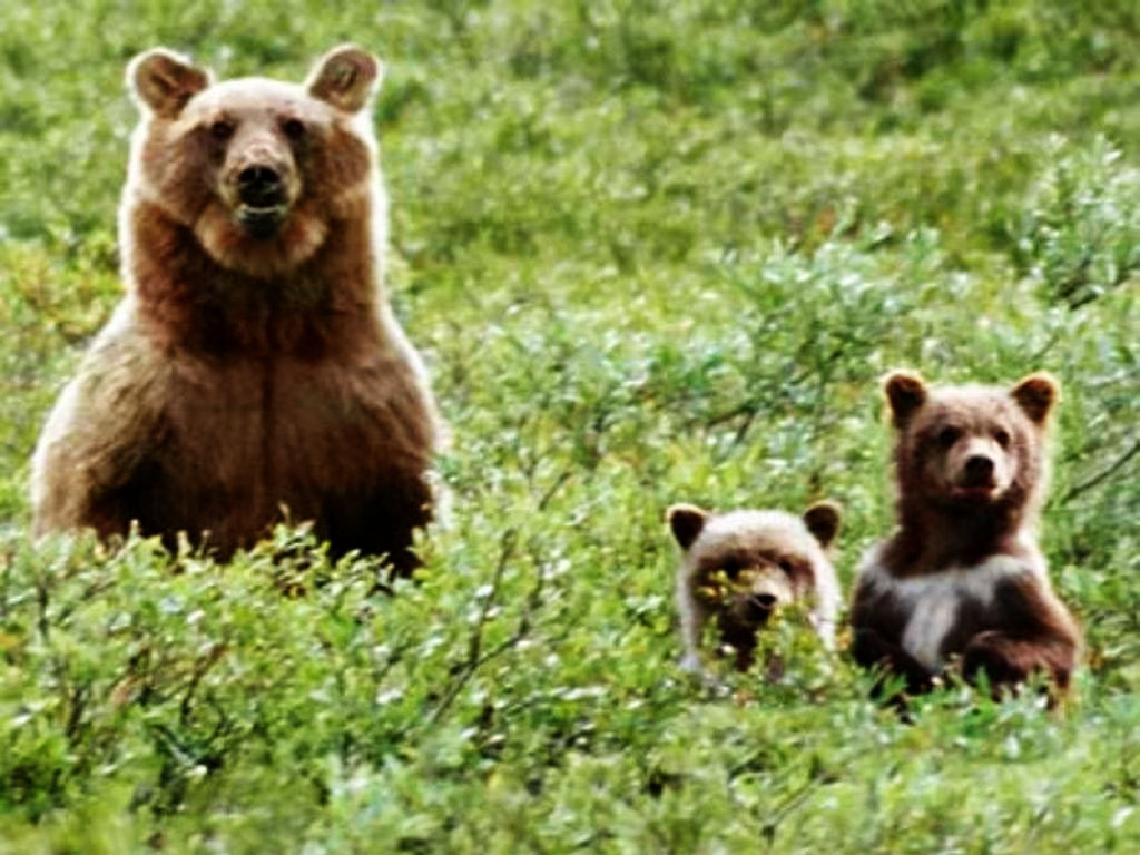 Nature Wallpaper: Bears in the Wild