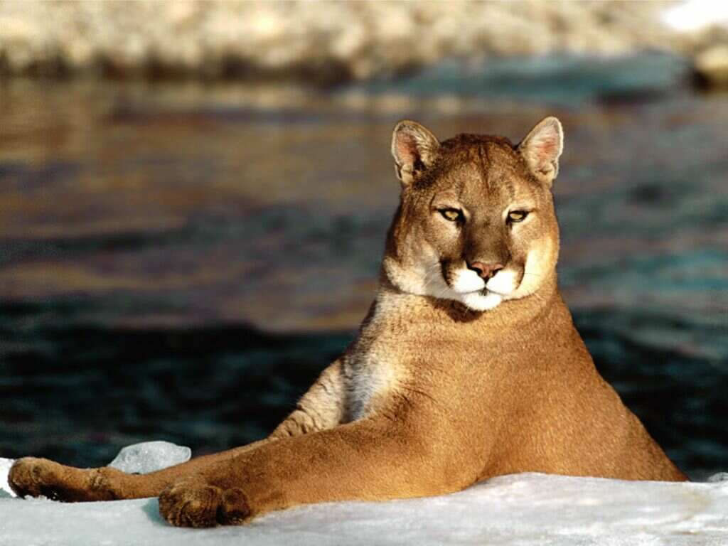 Nature Wallpaper: Puma