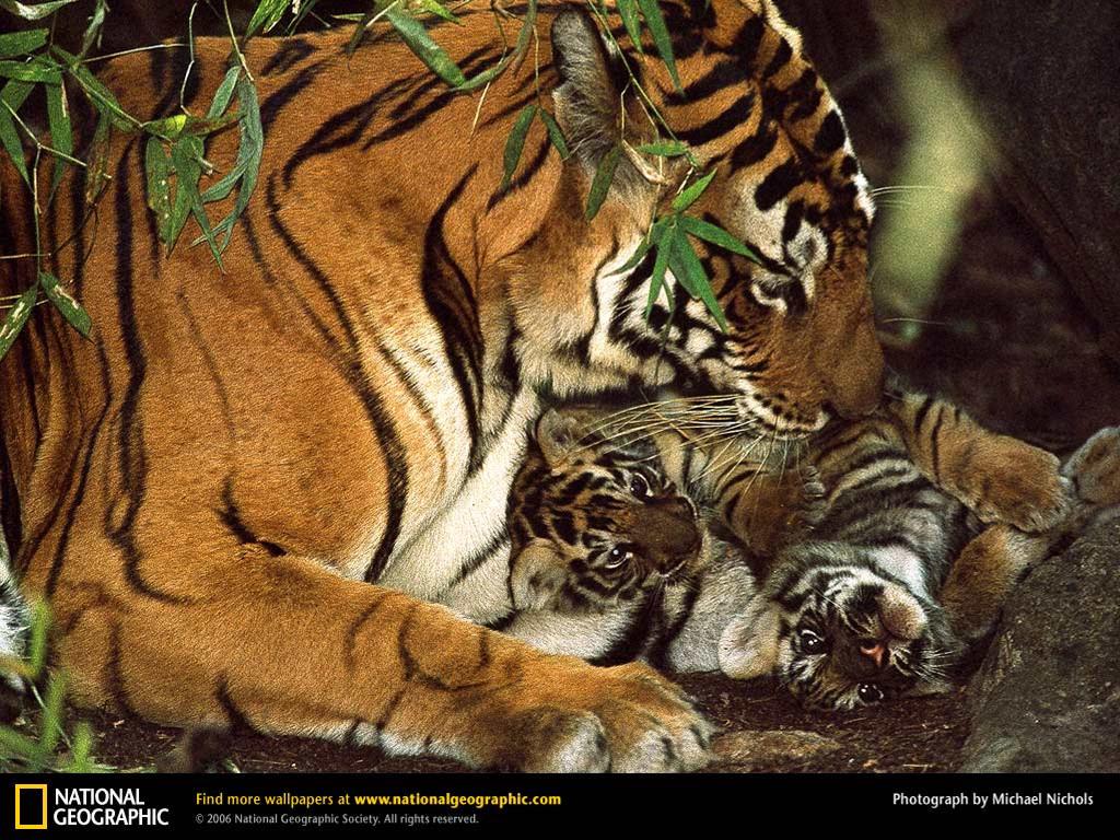 Nature Wallpaper: Bengal Tiger and Cub