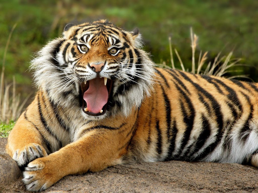 Nature Wallpaper: Bengal Tiger
