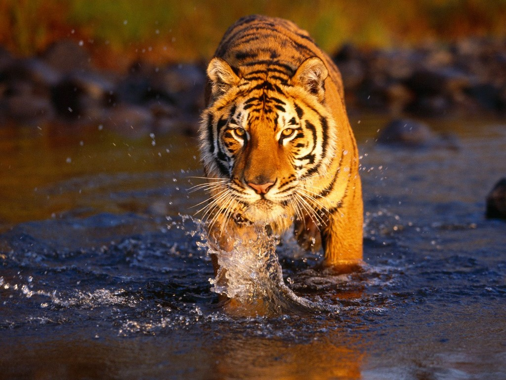 Nature Wallpaper: Bengal Tiger