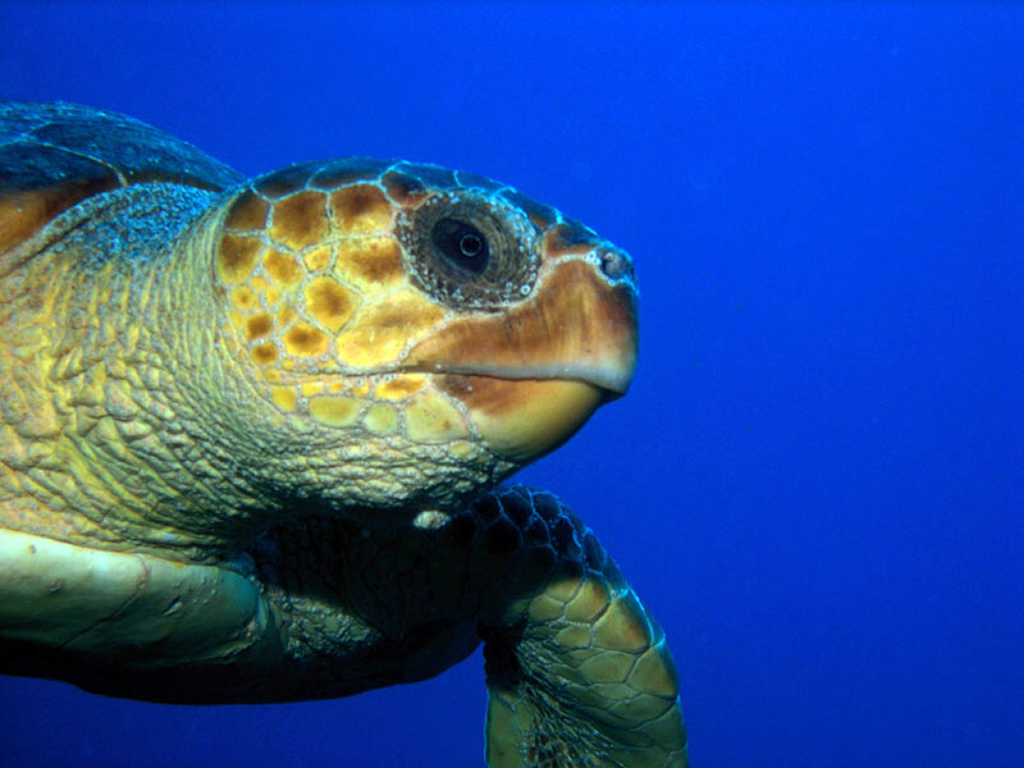 Nature Wallpaper: Big Sea Turtle