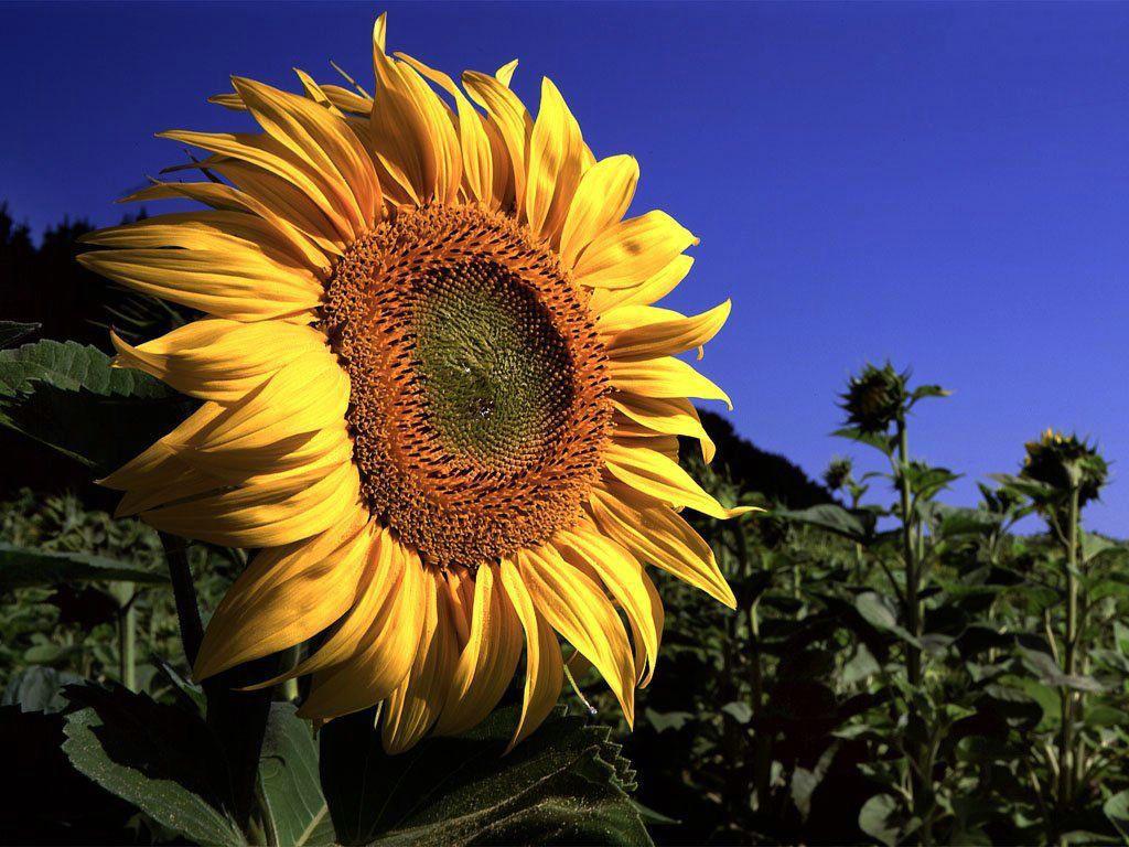 Nature Wallpaper: Big Sunflower