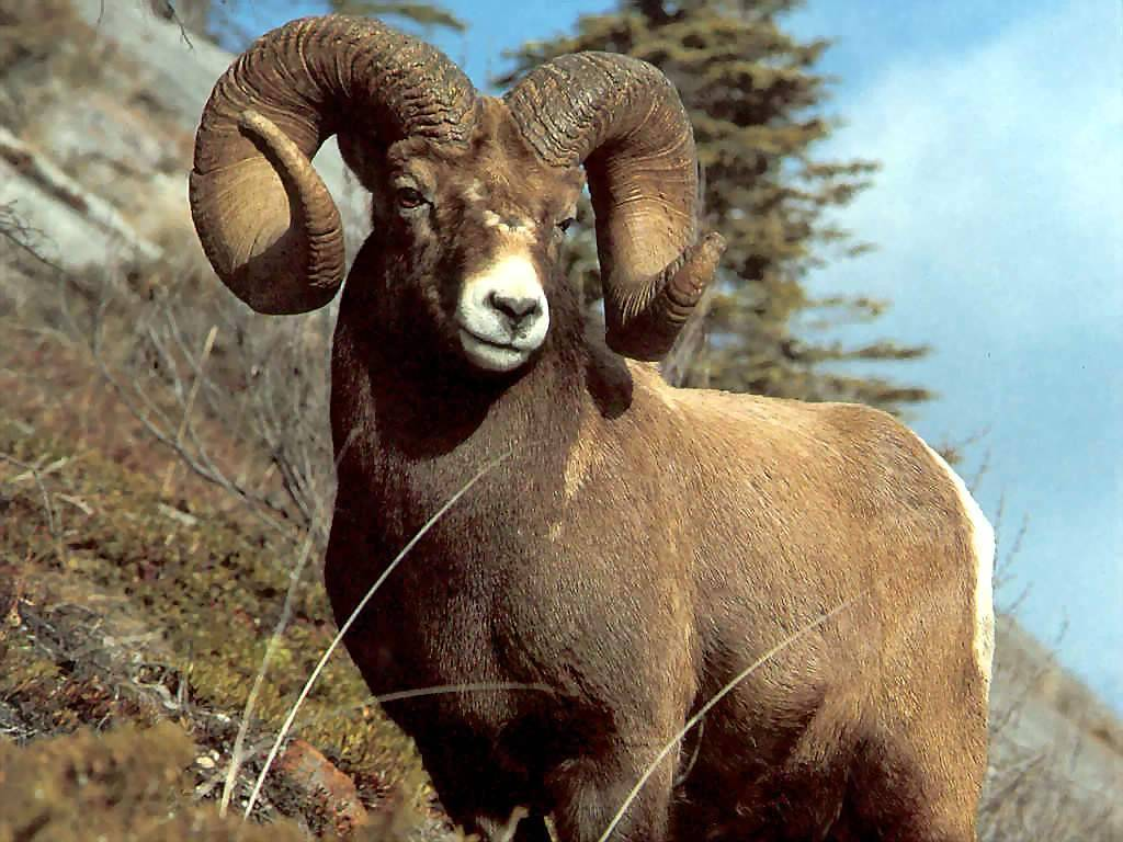 Nature Wallpaper:  Bighorn Ram