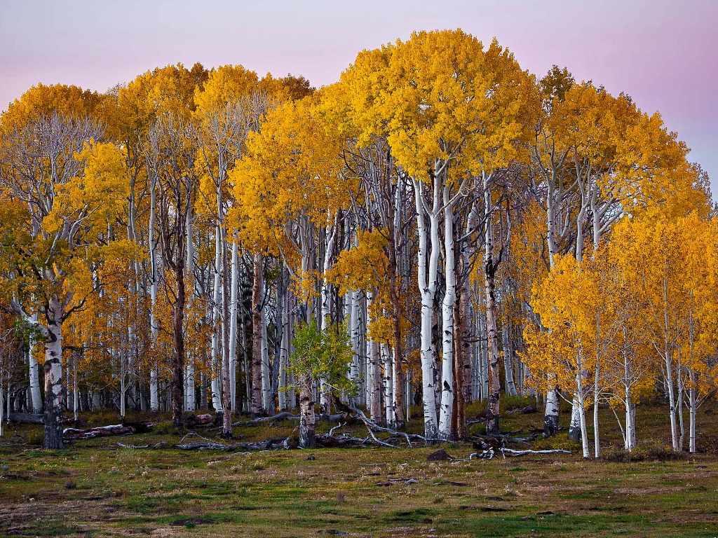 Nature Wallpaper: Birch Forest