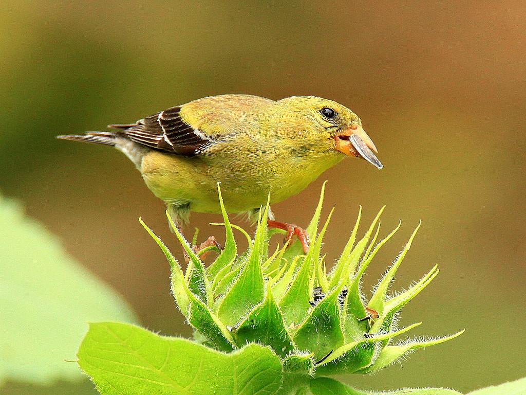 Nature Wallpaper: Bird - Eating Seeds