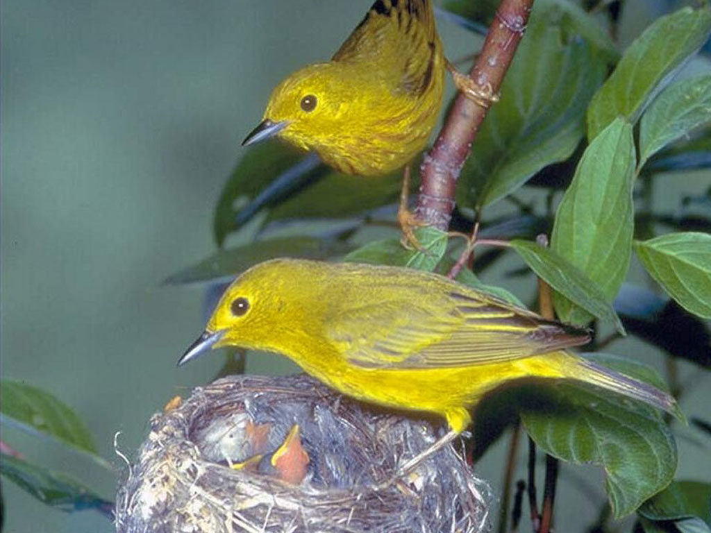 Nature Wallpaper: Birdies