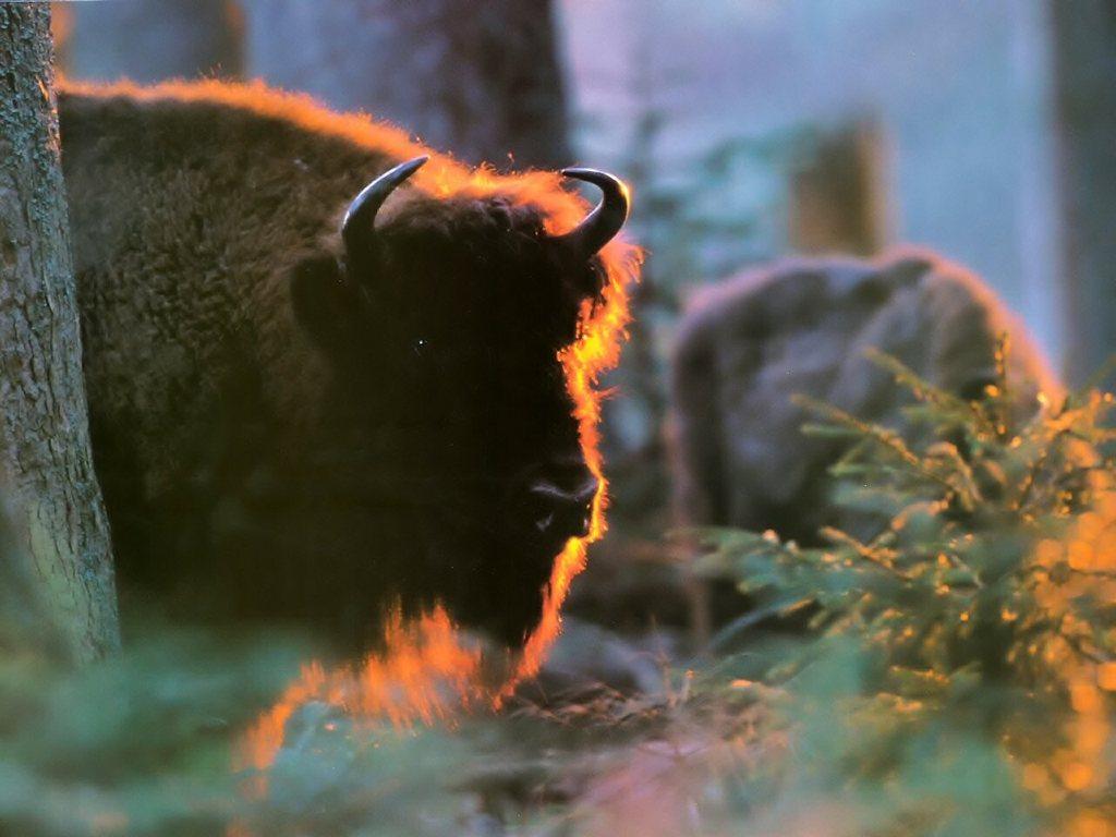 Nature Wallpaper: Bison