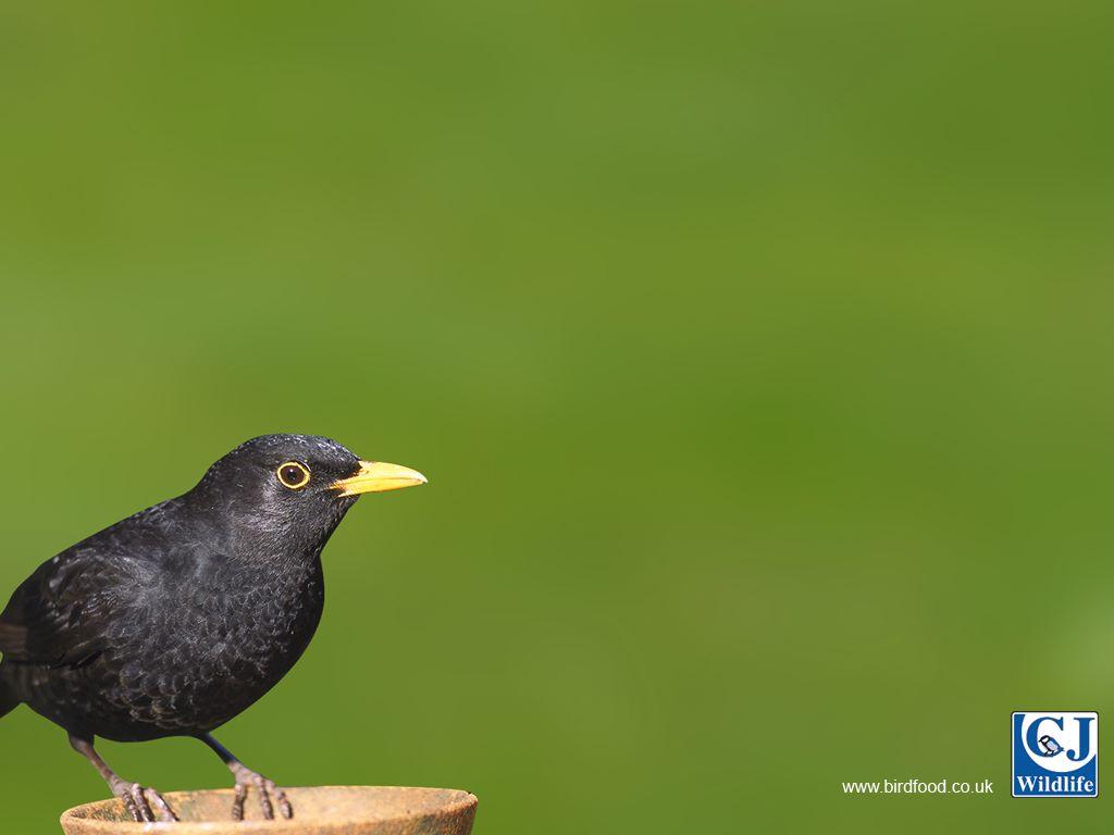 Nature Wallpaper: Black Bird